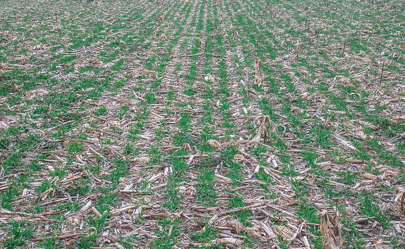 Aventino Rye, December picture following late October no-till establishment in cornstalks. Seeded at 42 lbs/acre