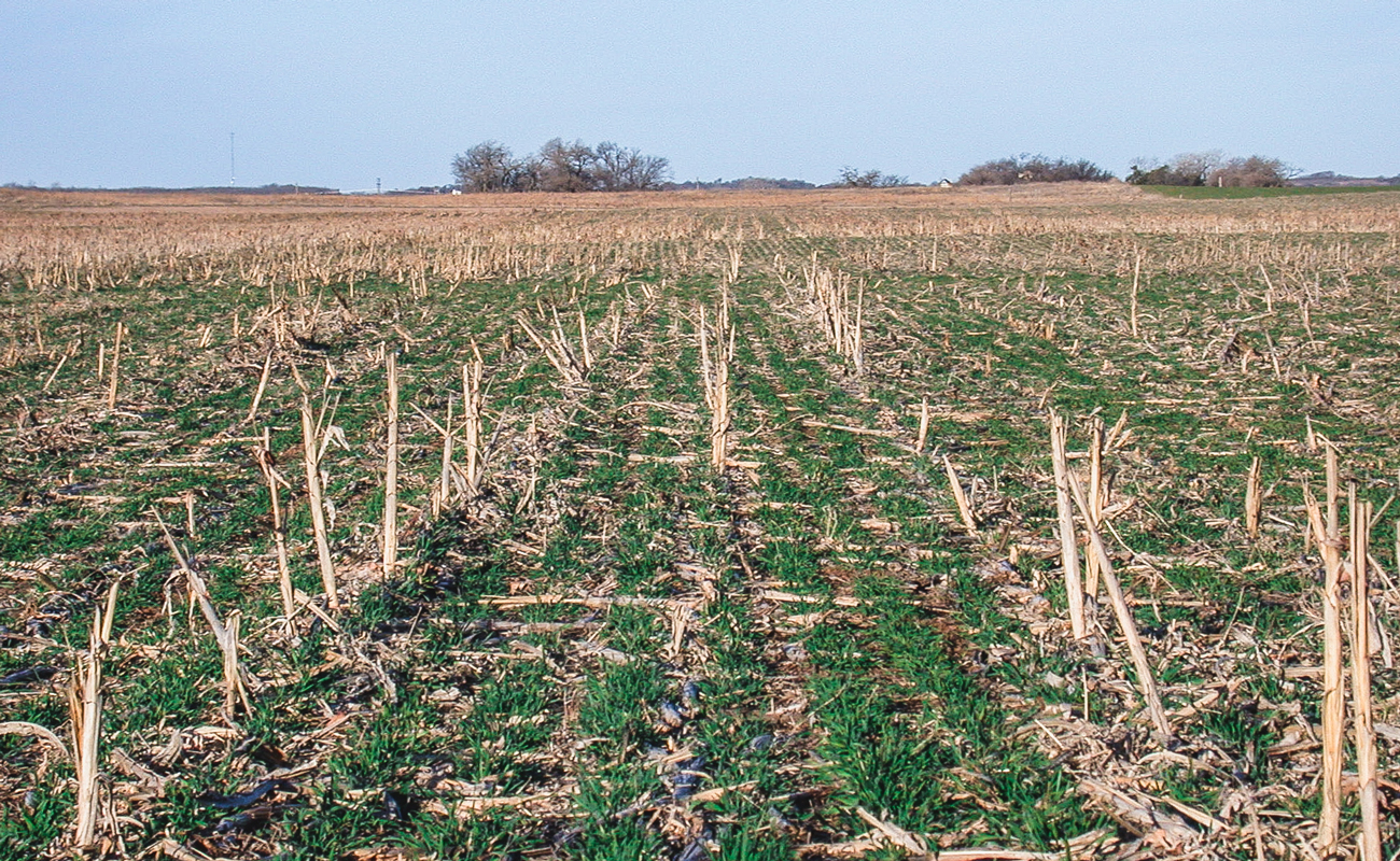 Aventino winter rye no-till establishment in grain sorghum (Wakita, OK)