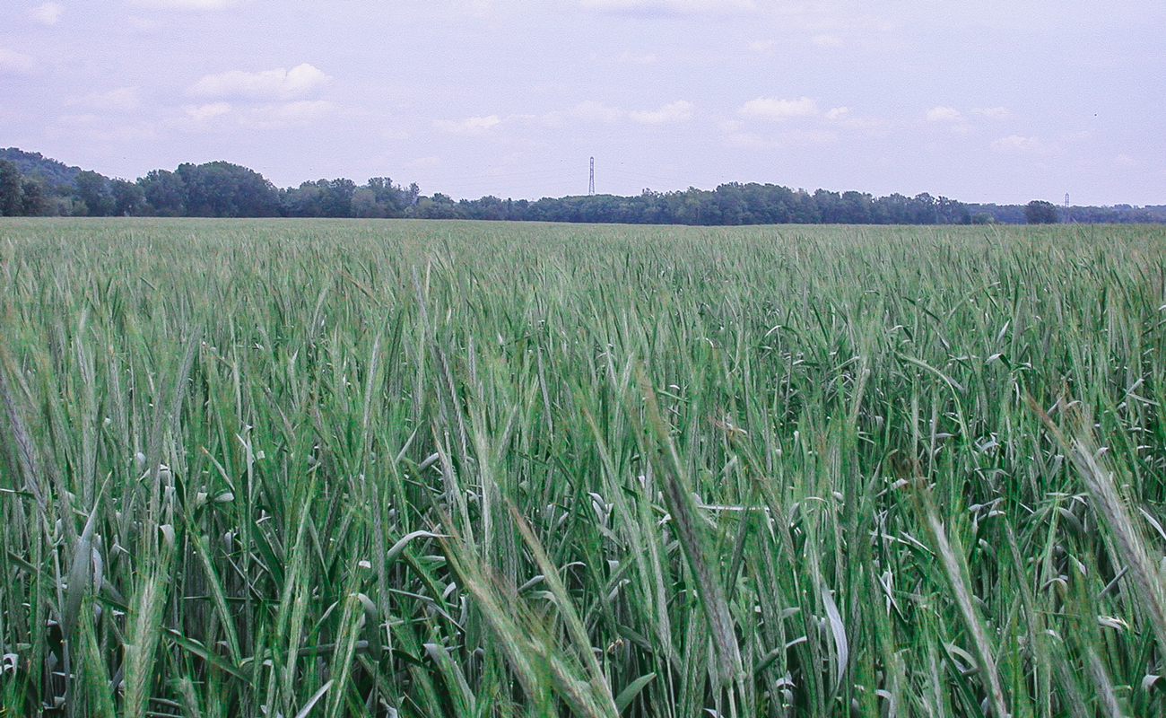 Aventino winter rye in seed fill stage in May (Kentucky)