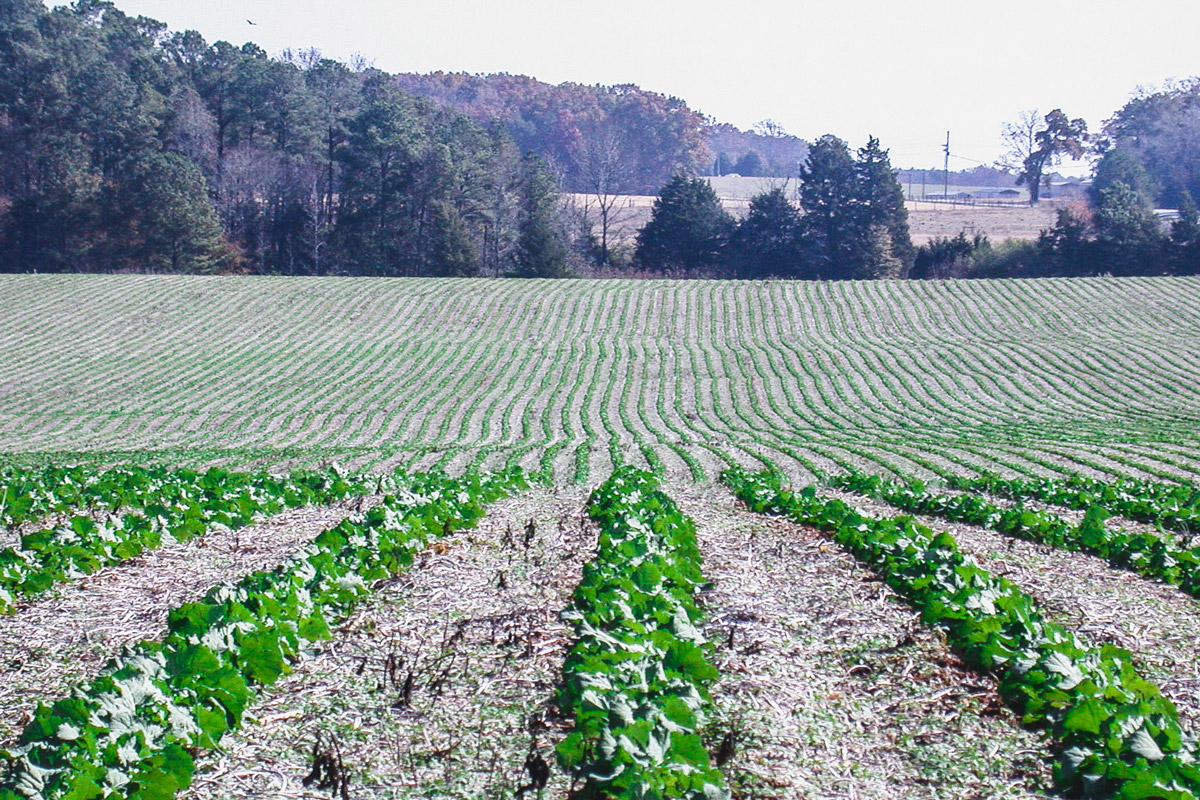Thirty-inch row, no-till Hekip commercial production (northern Georgia)
