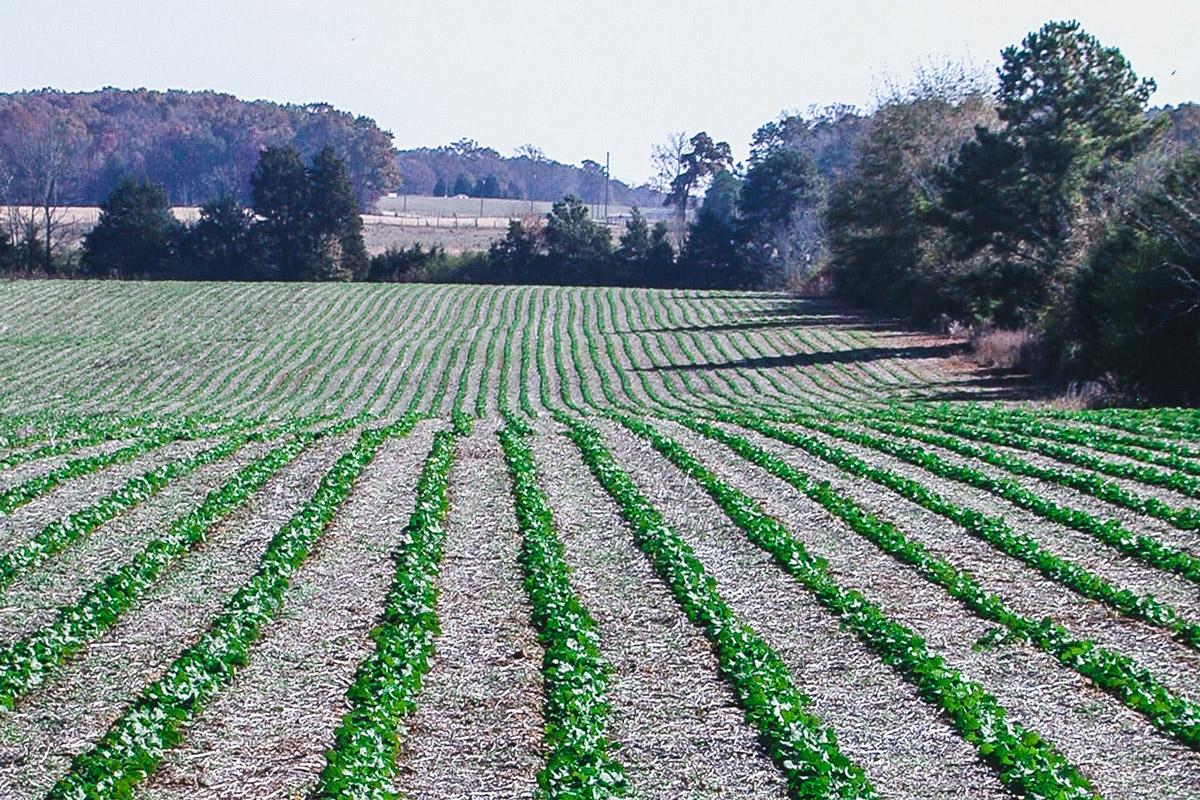 Fall establishment, no-till 30-inch row production of Hekip (northern Georgia)