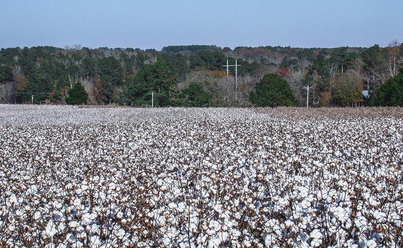Cotton double-cropped following field peas (Georgia)