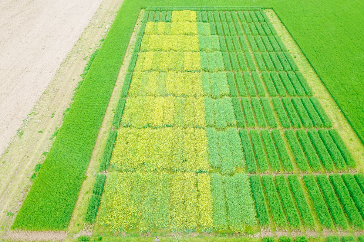 Aerial view of Photosyntech winter canola research (east Arkansas) University of Arkansas