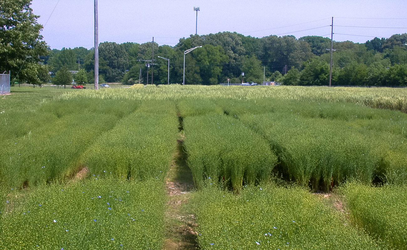 Flax, flowering complete in May (University of Tennessee, Jackson)