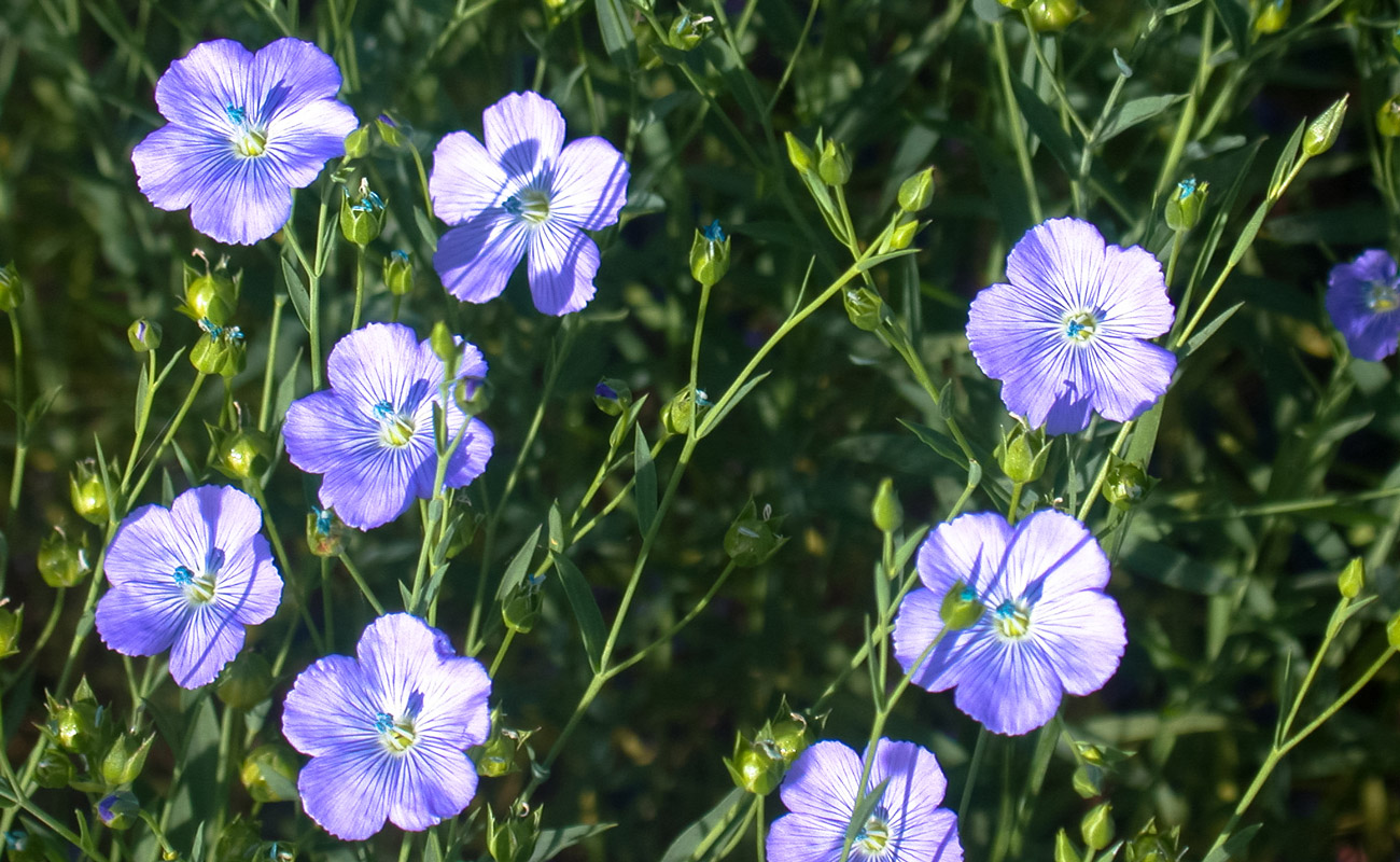 Flax flowers in late April