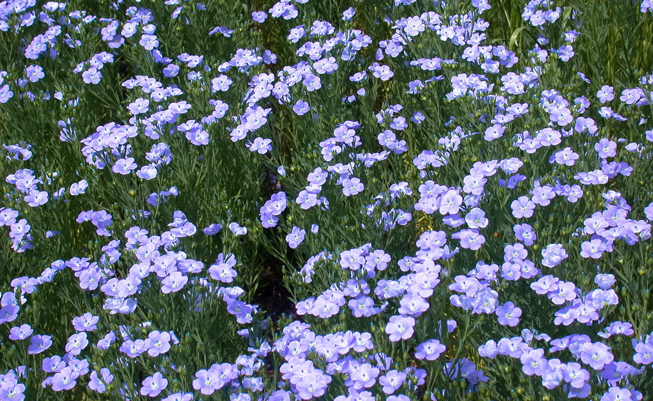 Flax in bloom