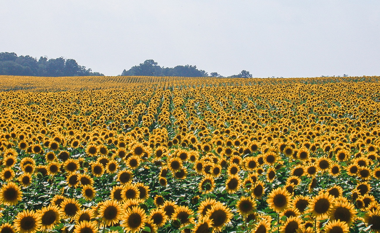 High oleic double crop sunflower in full bloom (southern Kentucky)