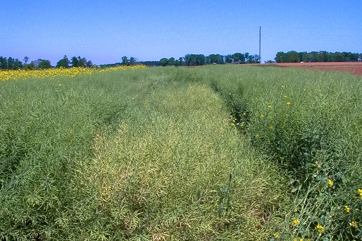 NCC101S spring canola demonstrating relative maturity advantage.