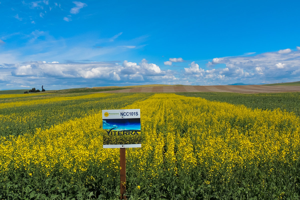 NCC101S Spring Canola In Washington State University Strip trial (west of Spokane, WA)