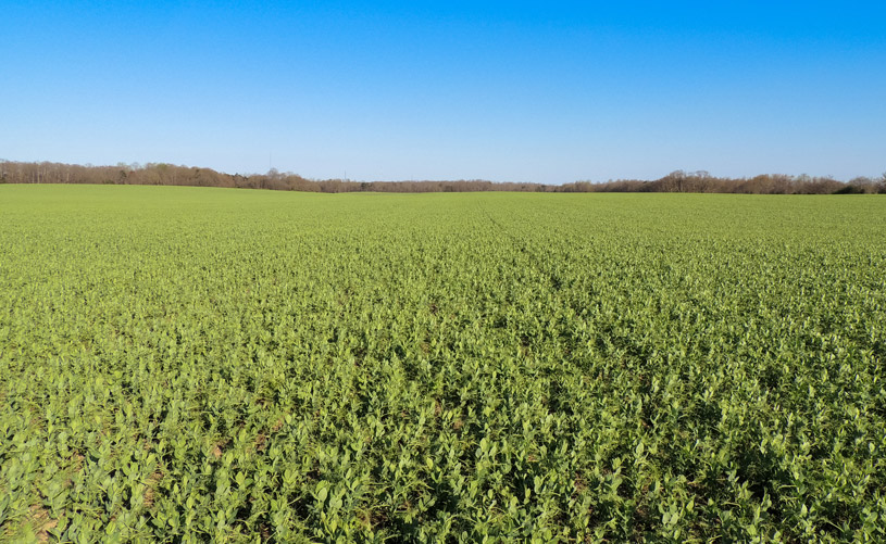 Photosyntech field peas in March (Georgia)