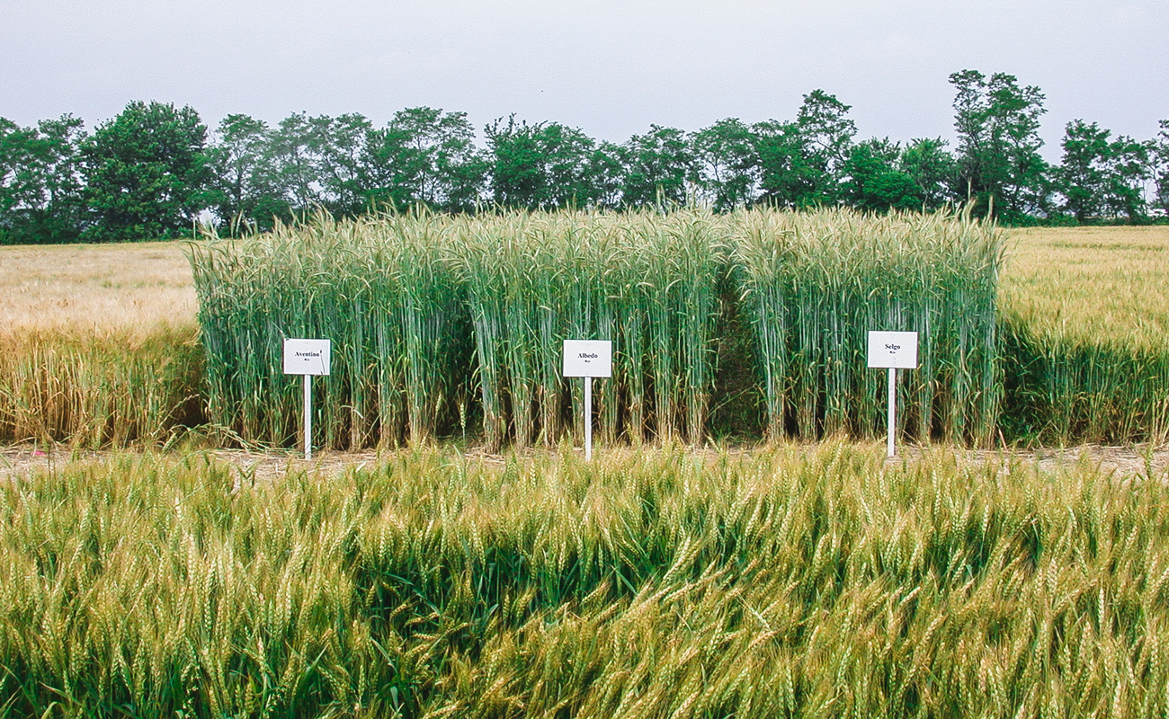 Relative height of rye versus wheat