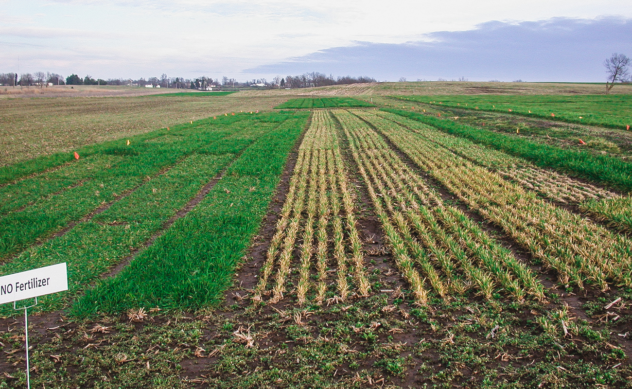 Small grain research, resilience of rye (left) to sub-zero temperatures versus winter oats (right)