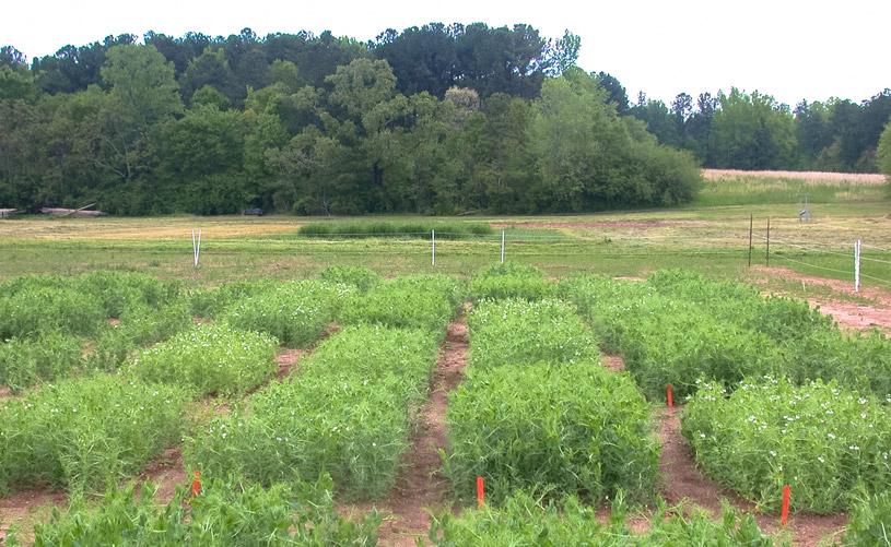 UGA field pea variety trial, 2016
