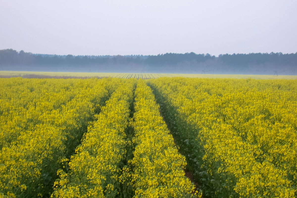 Thirty-eight-inch twin row commercial winter canola (central Georgia)