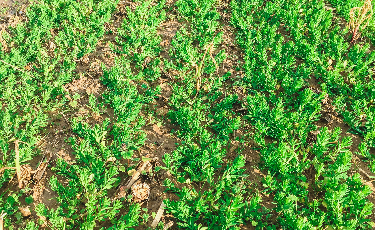Photosyntech flax, March 28, 2018 (University of Arkansas)