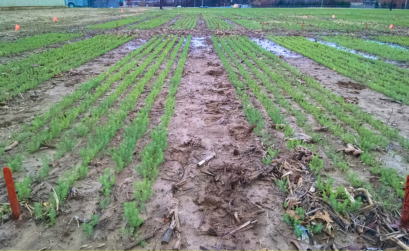 Winter flax established on wetter natured soils in late fall (University of Tennessee, Jackson)