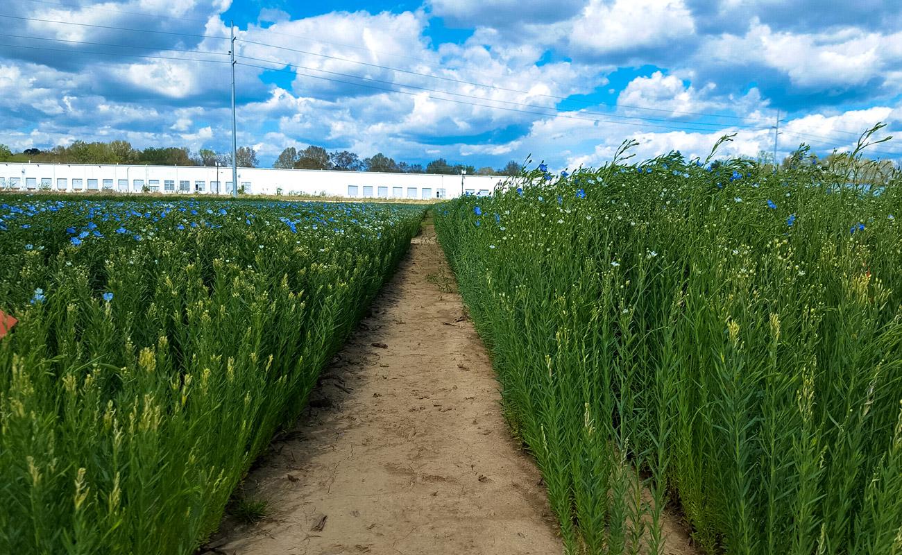 Winter flax plant growth regulator research (University of Tennessee, Jackson)