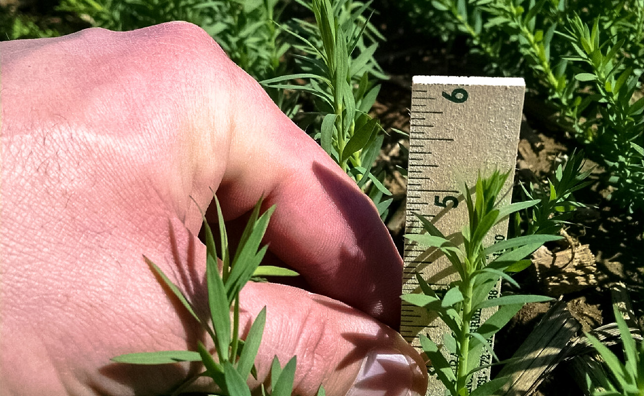 Flax in mid April (University of Arkansas)