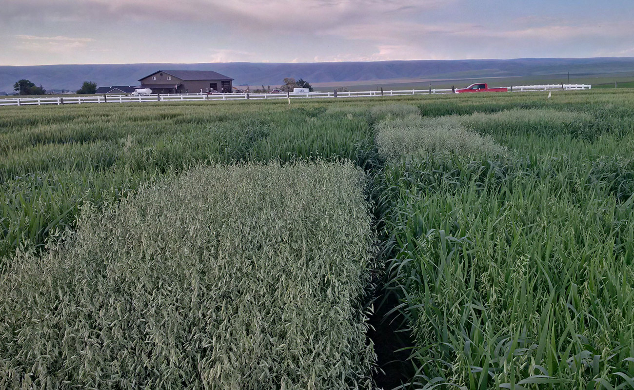 Winter oat trials (eastern Idaho)