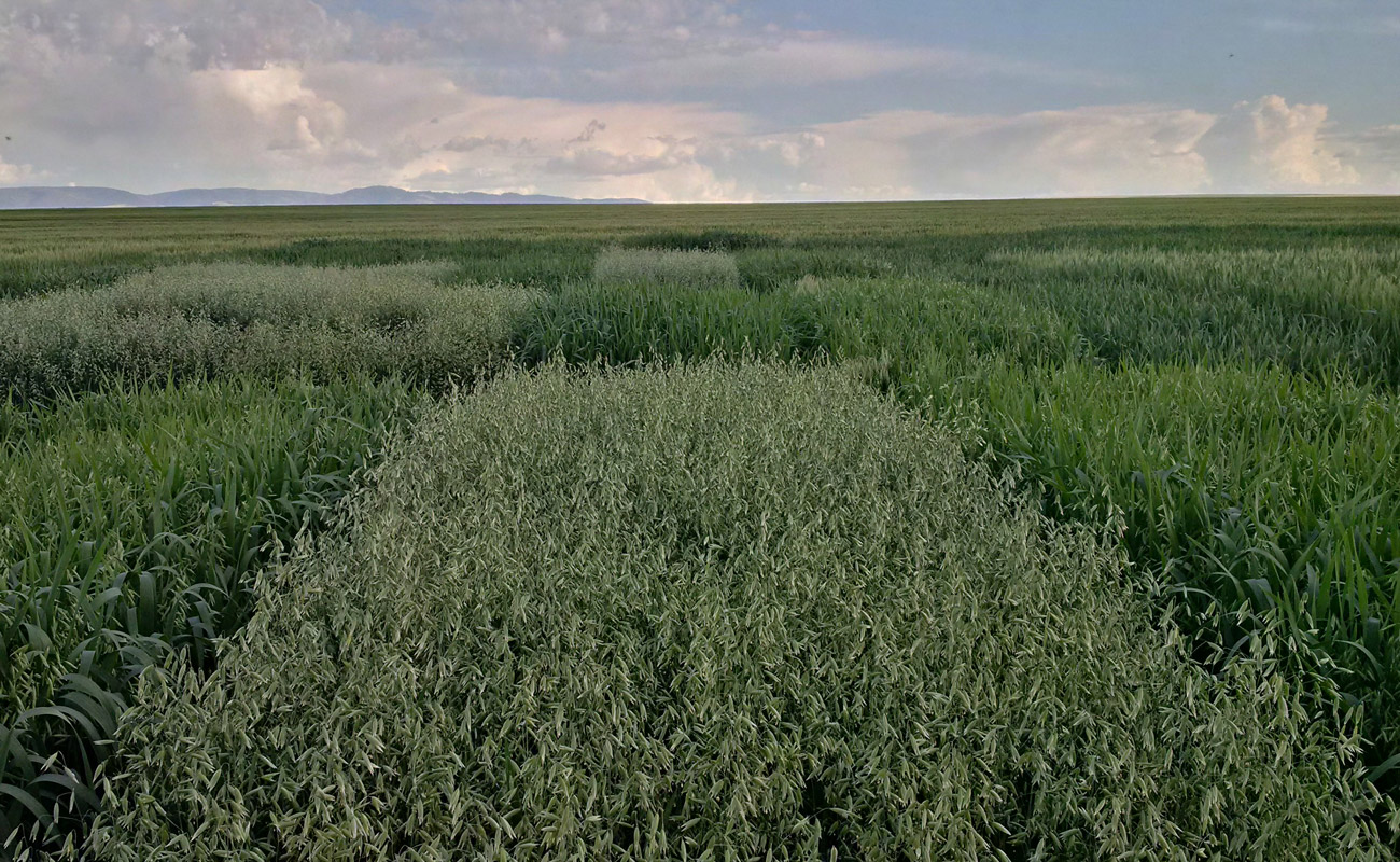 Winter oat trials (Idaho)
